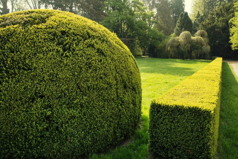 Green garden in spring with ball shaped topiary tree in foreground