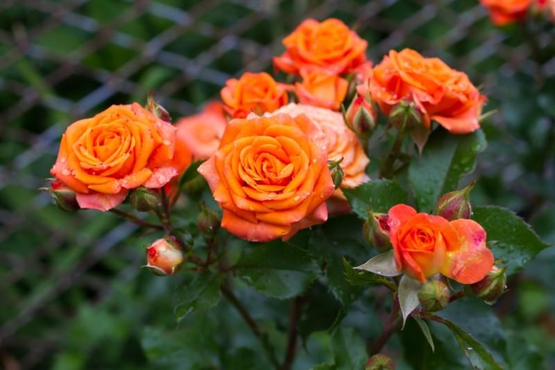 Bush of bright orange roses min e1435353363737 - Designing a Rose Garden