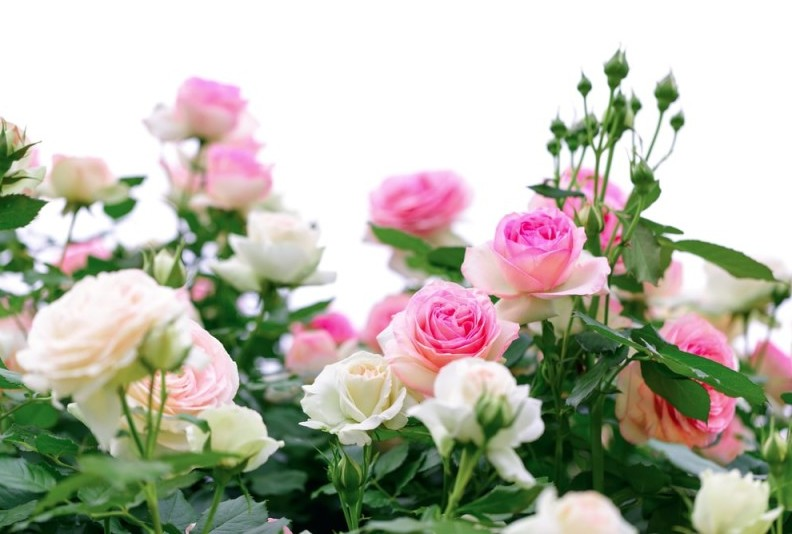 Climbing pink roses on white background min e1435353693208 - Designing a Rose Garden