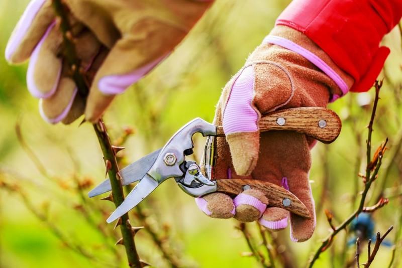 Spring pruning roses in the garden min e1435353099550 - Designing a Rose Garden