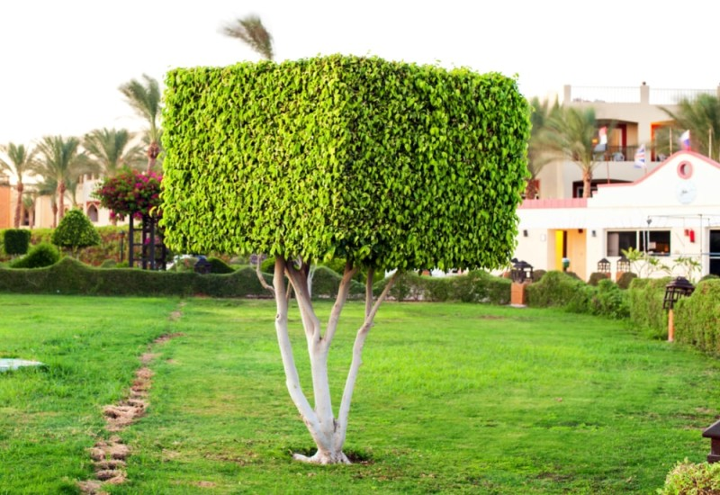 Square topiary tree shape in formal garden
