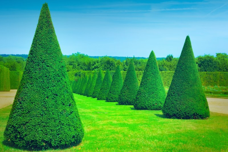 Topiary conical shaped trees of the same heights in a large garden