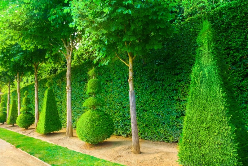 Topiary trees in alternating styles against a tall manicured hedge