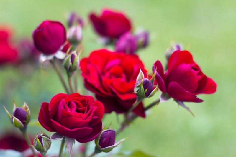 red roses min e1435353308296 - Designing a Rose Garden