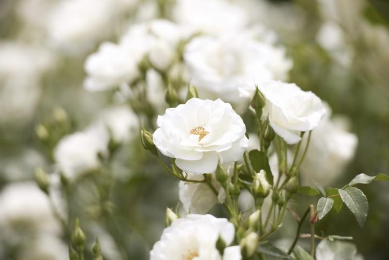 white iceburg rose min e1435353276366 - Designing a Rose Garden