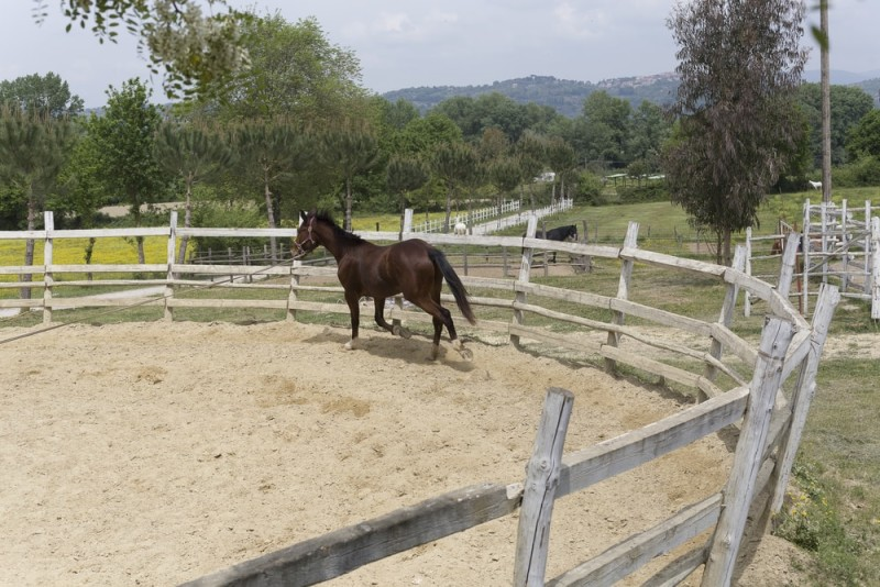 Horse lunging training in an enclosed pen