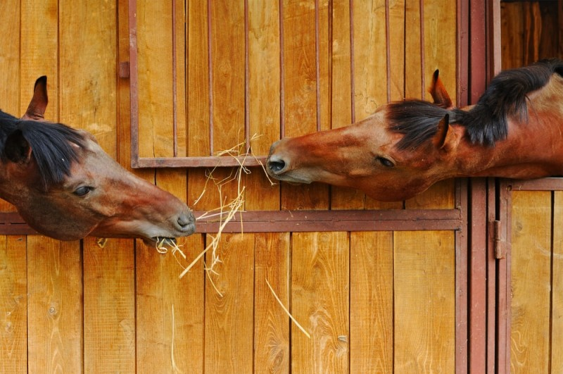 Two cute horses having a yarn in the stable