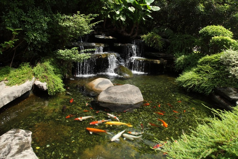 Japanese variegated carps swimming in garden pond min e1440360223224 - Backyard Pond Designs
