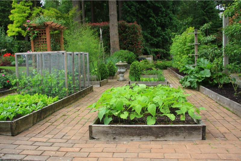 Beautiful backyard organic vegetable garden in raised beds
