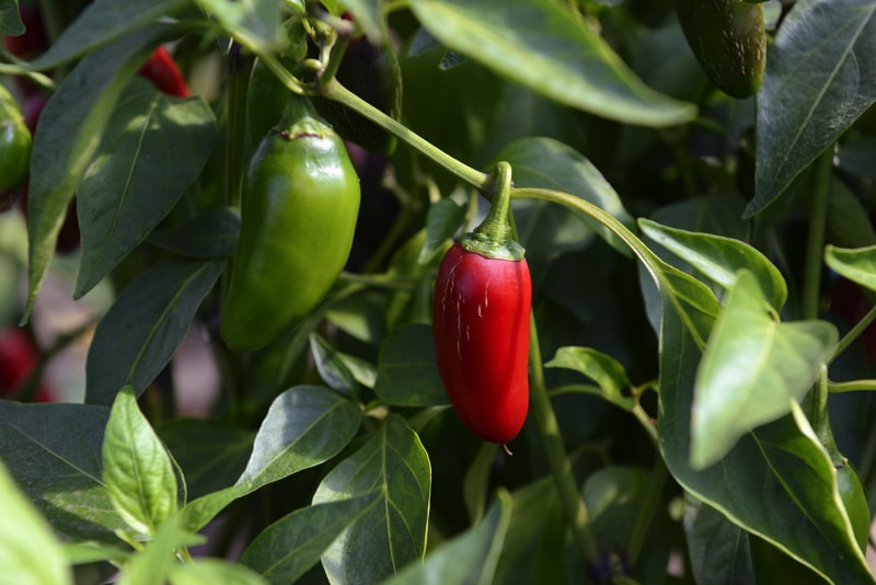 Jalapeno chilli peppers at maturity