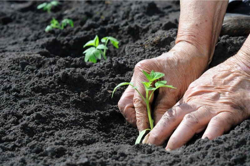 Hand planting tomato seedlings into rich soil