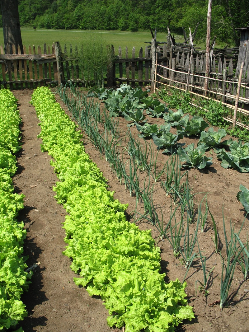 Vegetable garden growing lettuces, spring onions, and cabbages