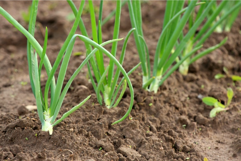 Spring onions growing in a vegetable garden