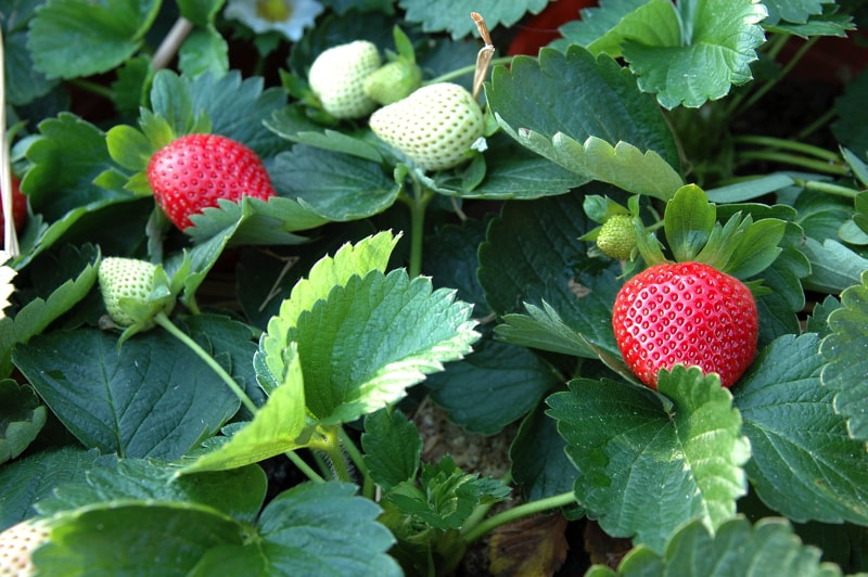 Growing Garden Vegetables- Strawberry plant with maturing strawberries
