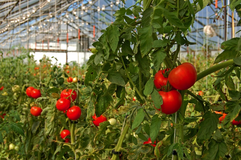 Tomatoes growing in a glasshouse