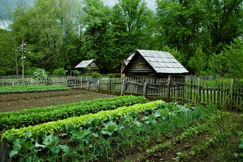 Vegetable garden with rows of vegetables nearing maturity