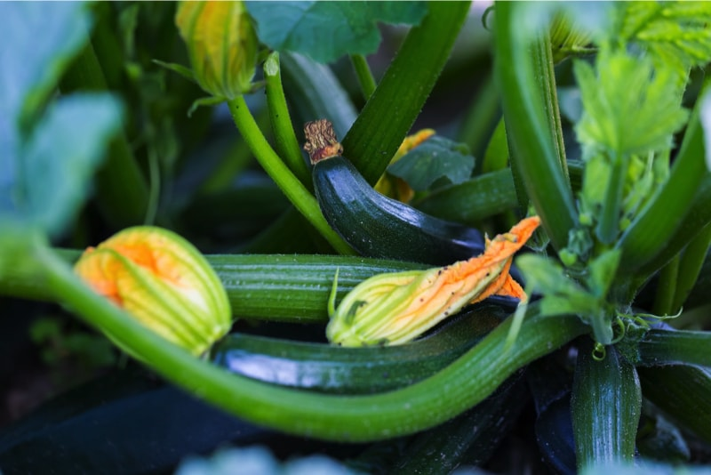 Courgettes growing in a garden