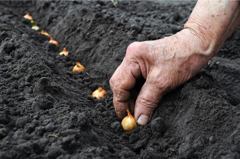Hand planting onions