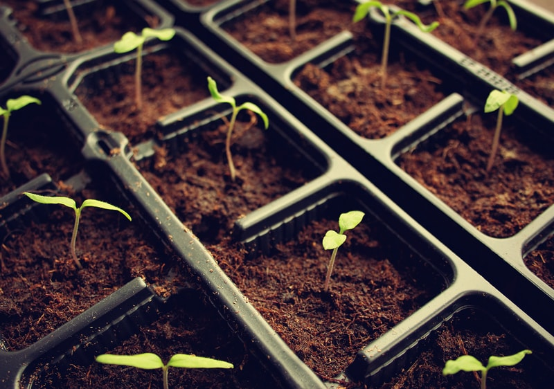 Tomato seedlings in small culturing pots