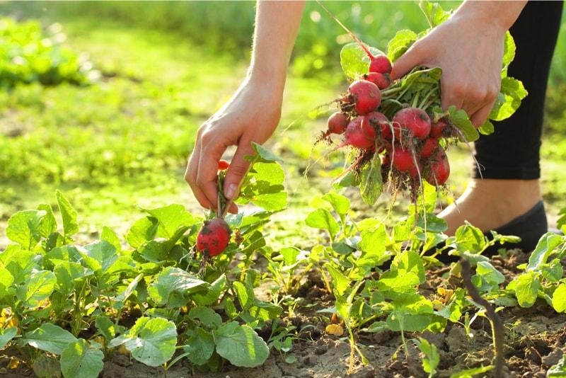 Harvesting fresh radishes from the garden