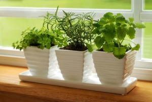 Growing Herbs Indoors For Beginners