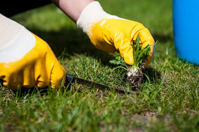 Weeding - How to Renovate an Ugly Old Lawn