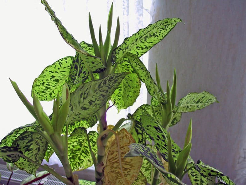 Dieffenbachia 03 e1488605360873 - The Best Indoor Flower Plants