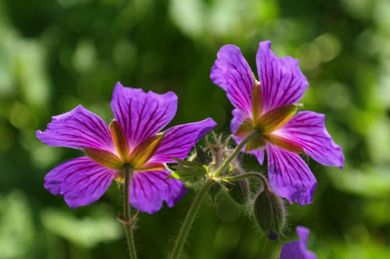 cranesbill 123289 1280 e1488603486858 - The Best Indoor Flower Plants