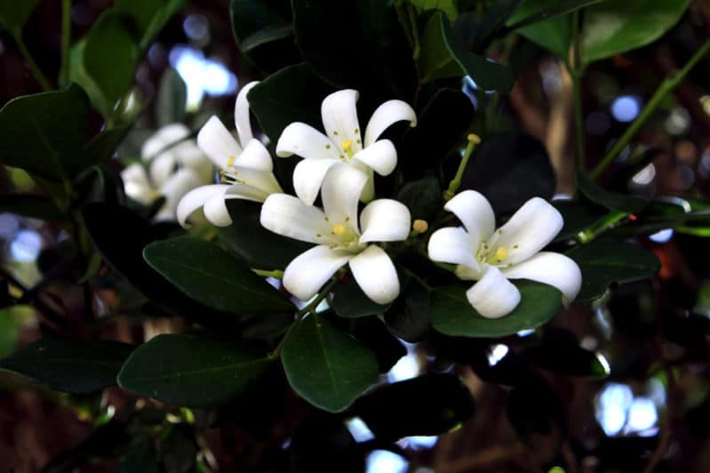 jasmine 1266689 960 720 e1488603250573 - The Best Indoor Flower Plants