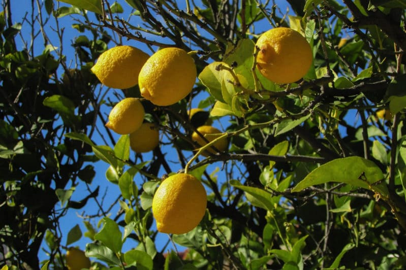 lemon tree 1878505 1280 e1488603449974 - The Best Indoor Flower Plants